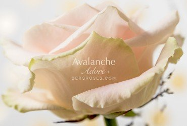 Famous rose family Avalanche+® welcomes new addition
